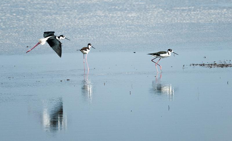 Black necked Stilts, Stick Marsh, Fellsmere FL