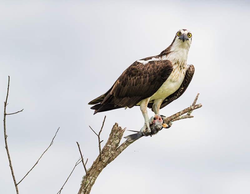 Osprey with prey in tree in Fellsmere Florida
