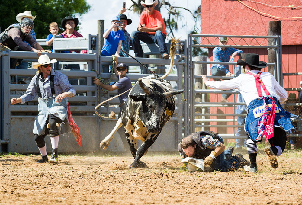 Bull rider being attacked by a bull at the Cracker