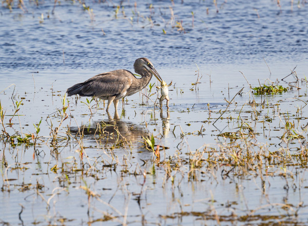 Great Blue Heron fishing for frog