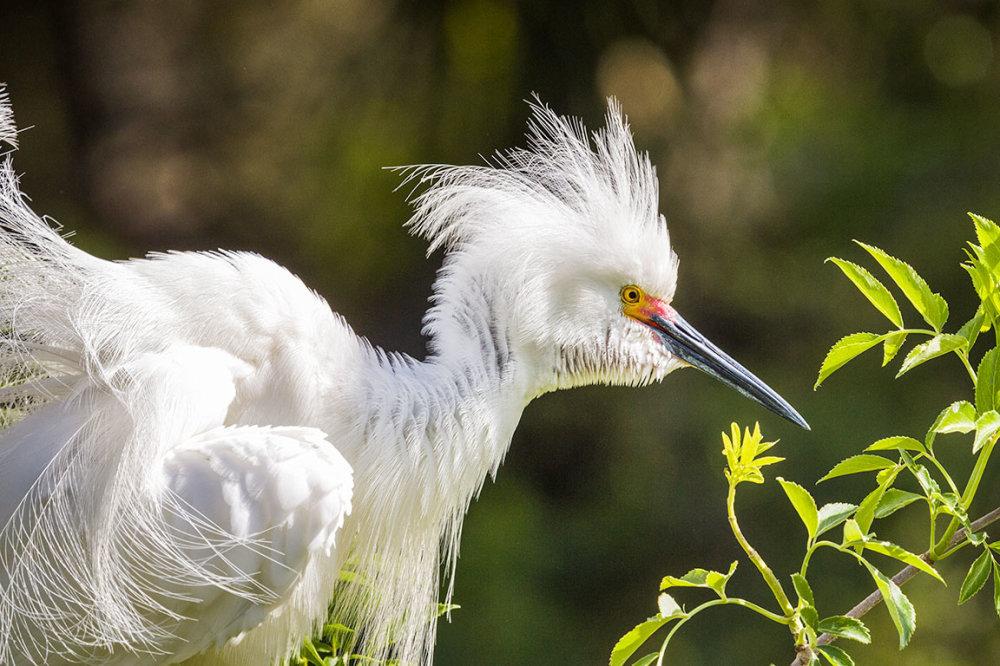 A Snowy Egret in st. Augustine Florida