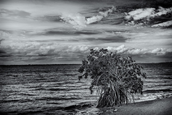 Mangrove on Indian River, Florida, Hutchinson Isla