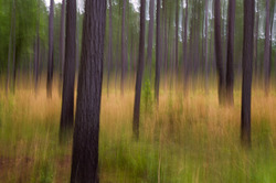 Field of Loblolly pine, congaree national park, SC