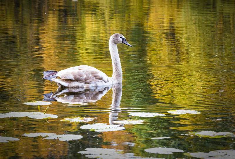 Swan on pond with Autumn reflections, Branford CT