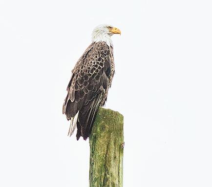 Eagle, Lake Kissimmee,Florida