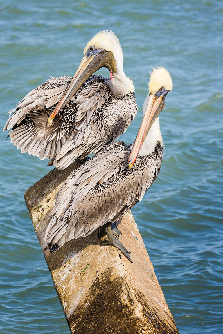 Injured Pelican with fish hool and line in neck