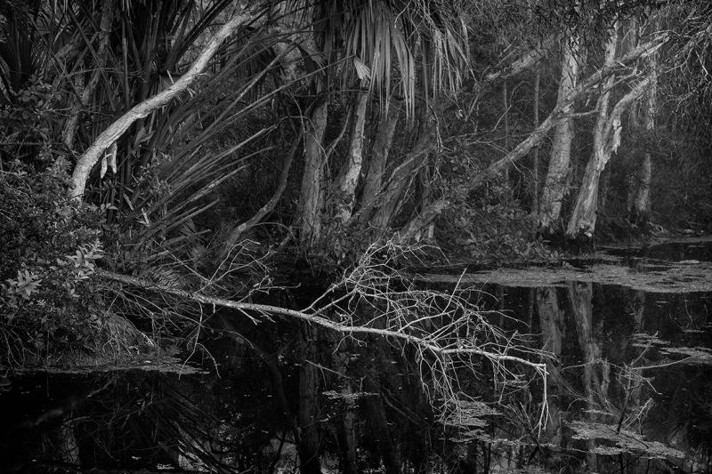 fallen tree in canal, fl
