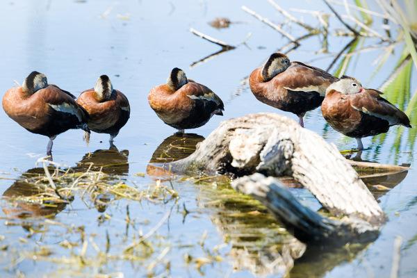 Black-bellied whistling ducks, Apopka, FL