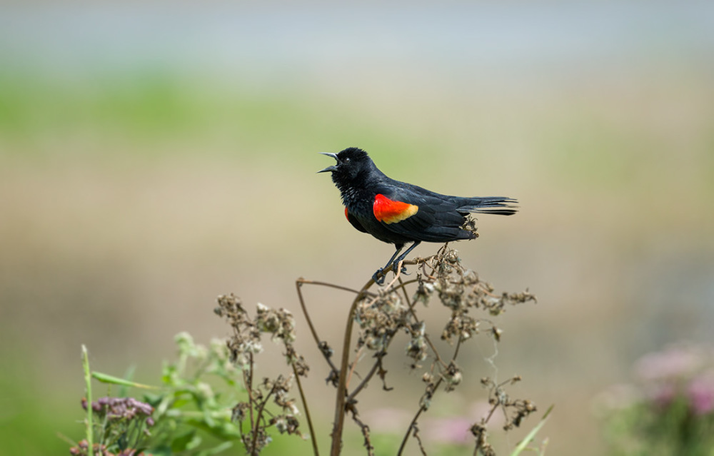 Red-wing Blackbird squawking