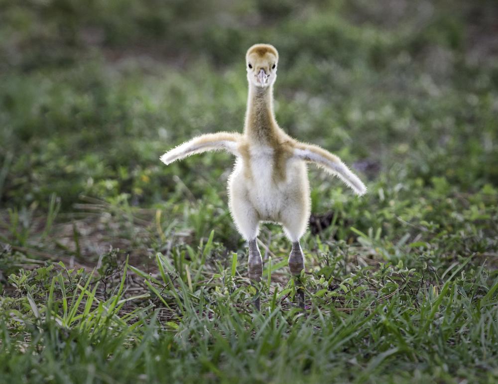 Sandhill Crane baby