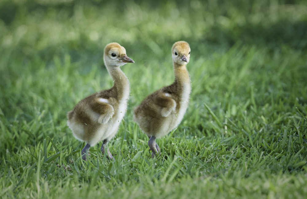 Two Sandhill crane babies.