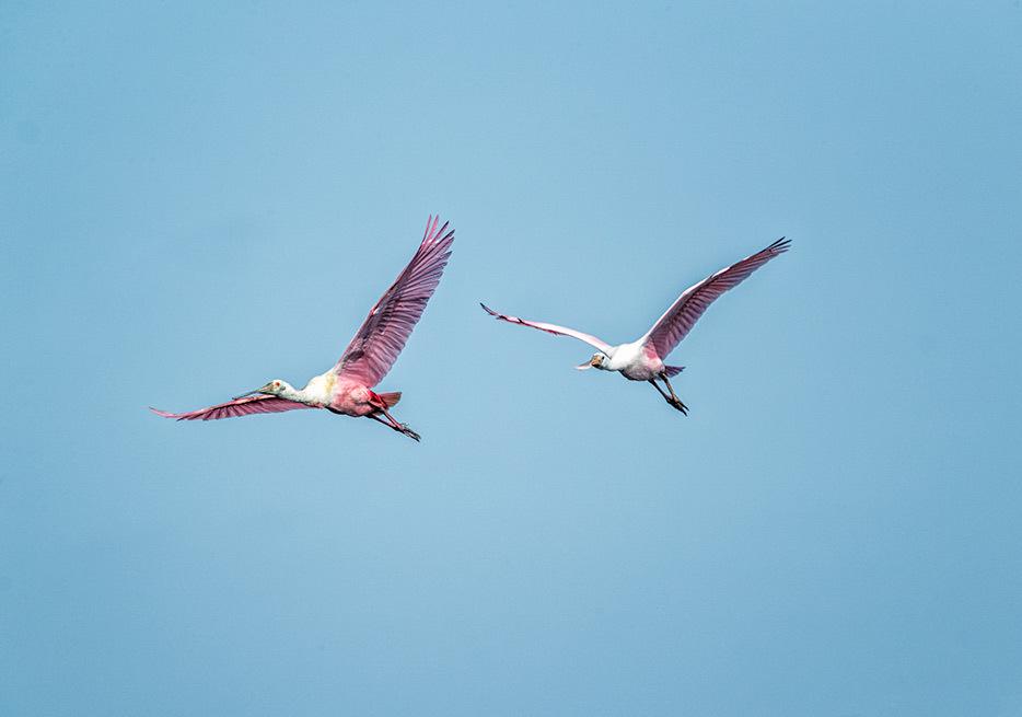 Spoonbills in flight