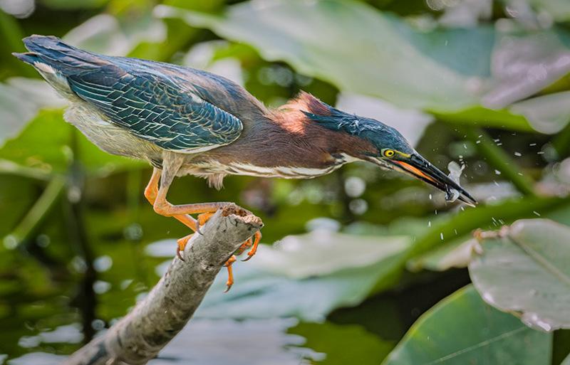 A Green Heron Strikes!