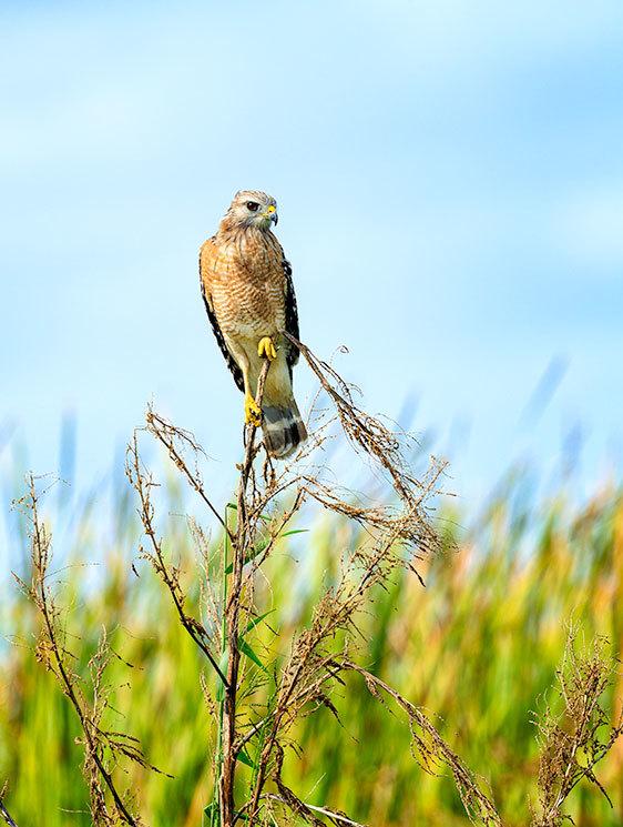 Red Shouldered Hawk, Florida