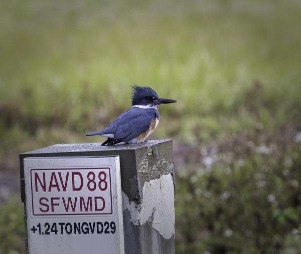 Kingfisher in Florida