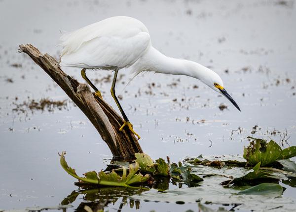 snowy egret fishing florida