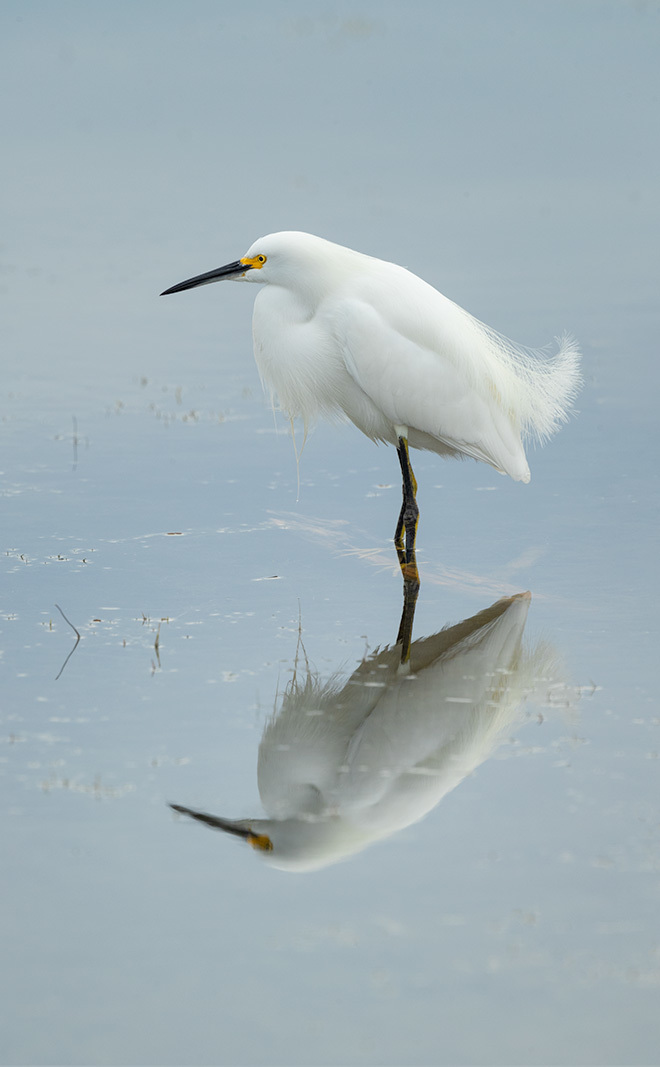 Ethereal Egret