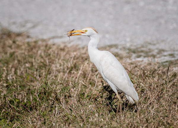 Cattle Egret's Lunch