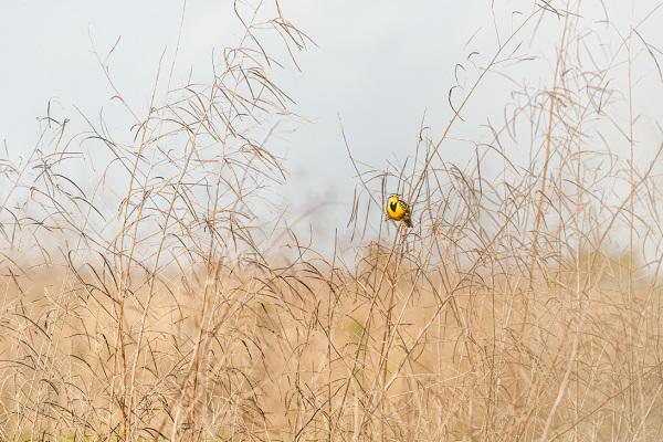 Meadowlark on fence