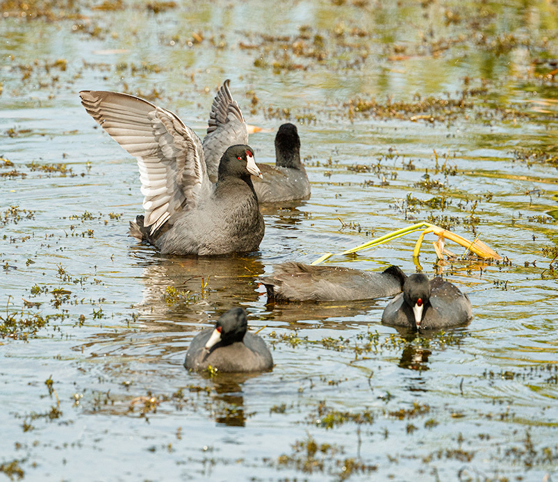 Coots in the marsh, florida