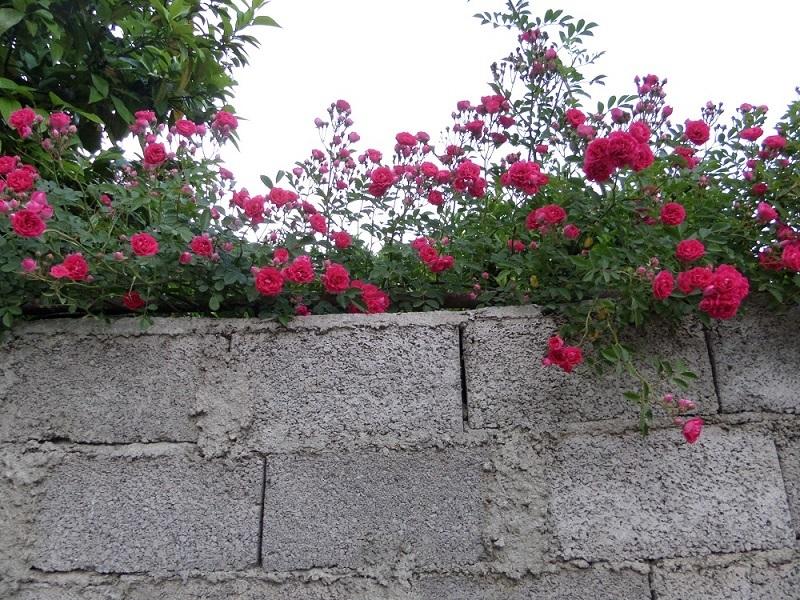 گلهای همسایه