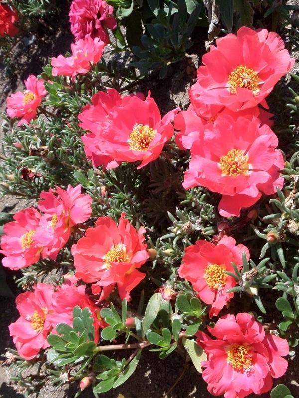 گل گلی