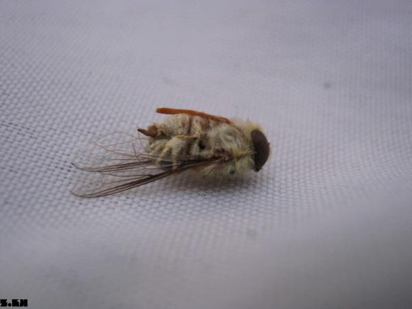 زنبور بیچاره!