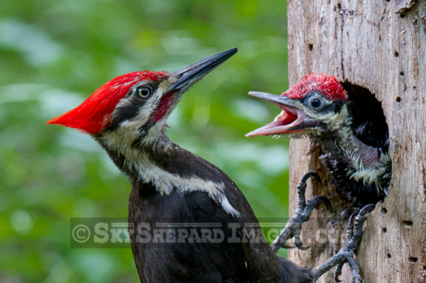 Feeding Pileated Woodpecker Chick at 17 Days