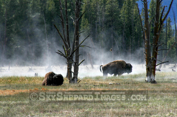 Buffalo grazing near a steamy pond.