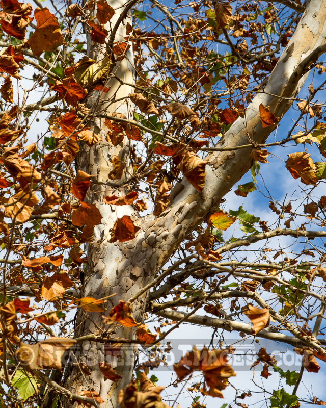 Fall Leaves and Sycamore Fork
