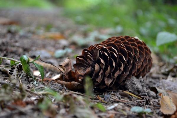 pine cone in schwarzwald