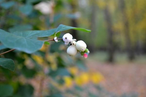 Berries of my childhood