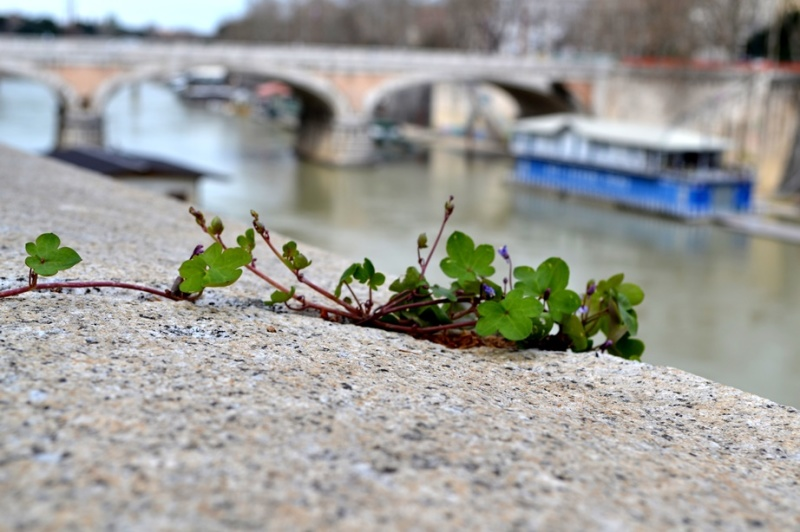 Rome covered by flowers II. Walks along the Tiber