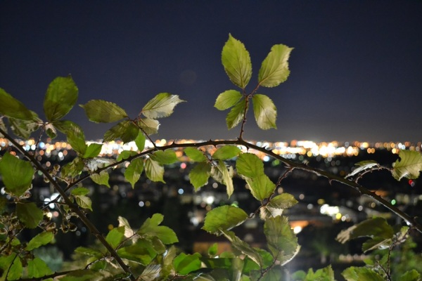 Flowers by night, wild blackberry...