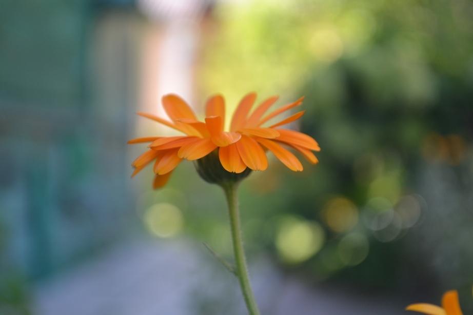 Ginger calendula