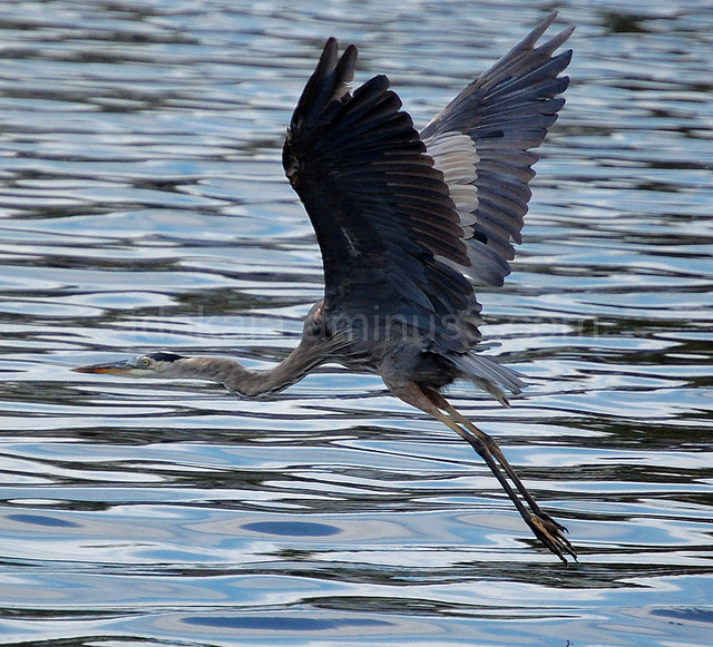 Great-Blue Heron Flight