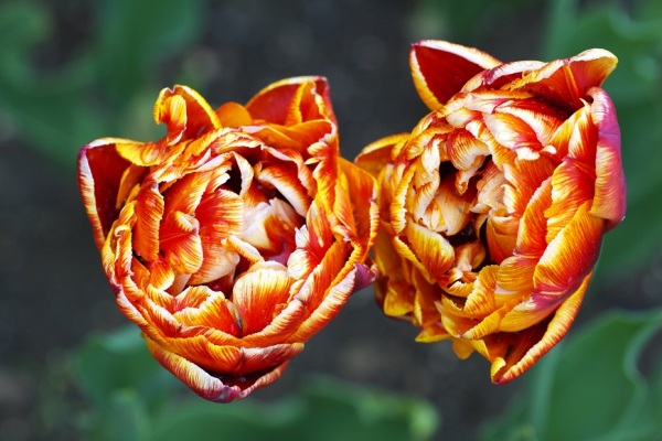 two tulips-spheres of fire