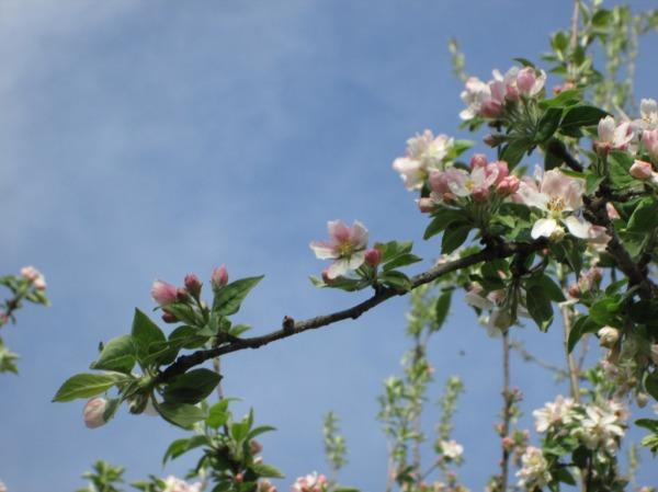 flower pink tree  blossom