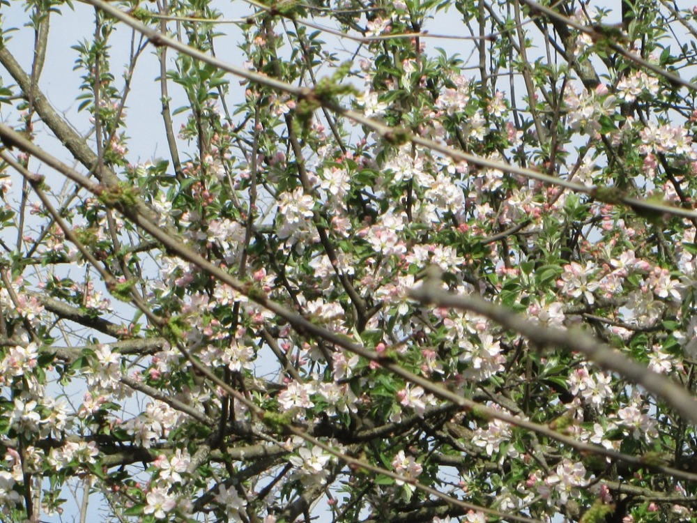 blossom tree green white pink