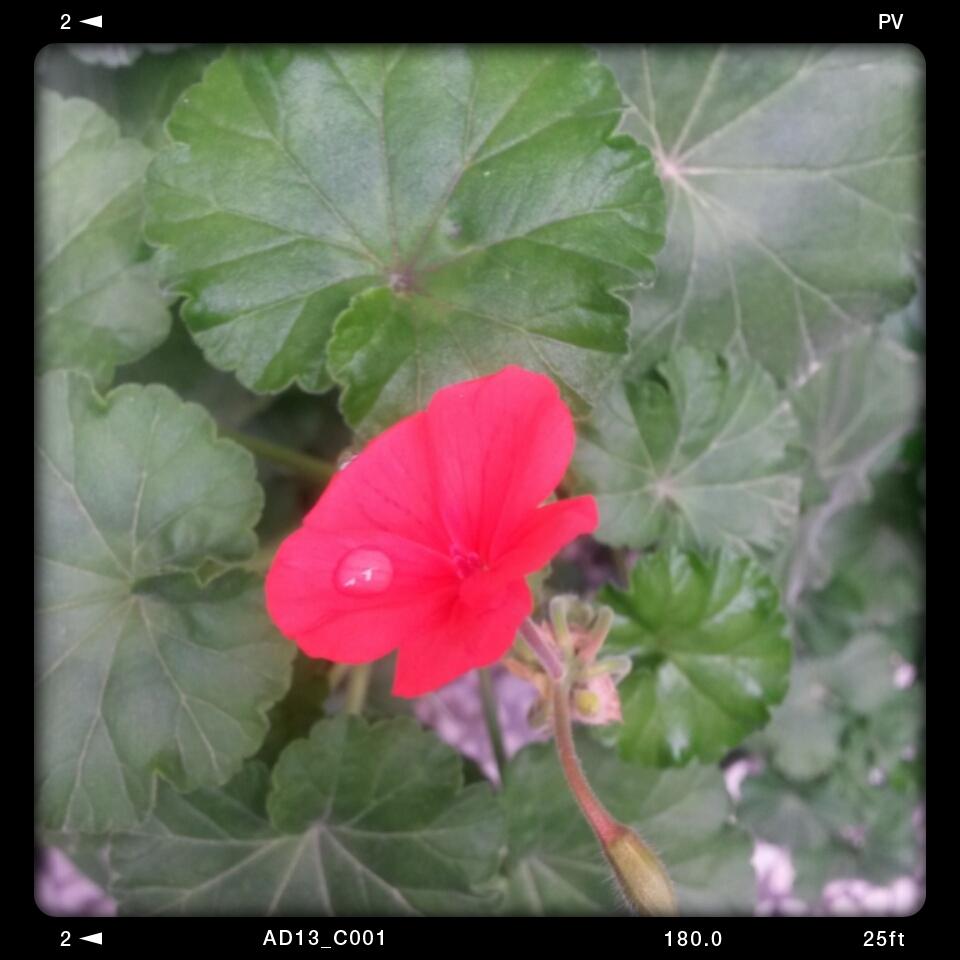 اولین گل شمعدانی عزیز تو سال 95