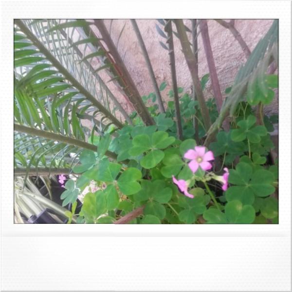 اولین گلهای شبدر سه برگ باغچه گلدونی مون