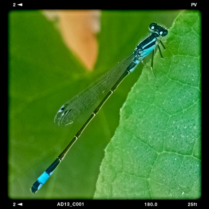 Dragonfly (2)                Edit by :  Sir Hamzeh