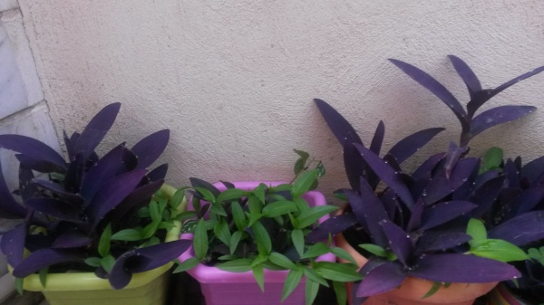 Tradescantia purple