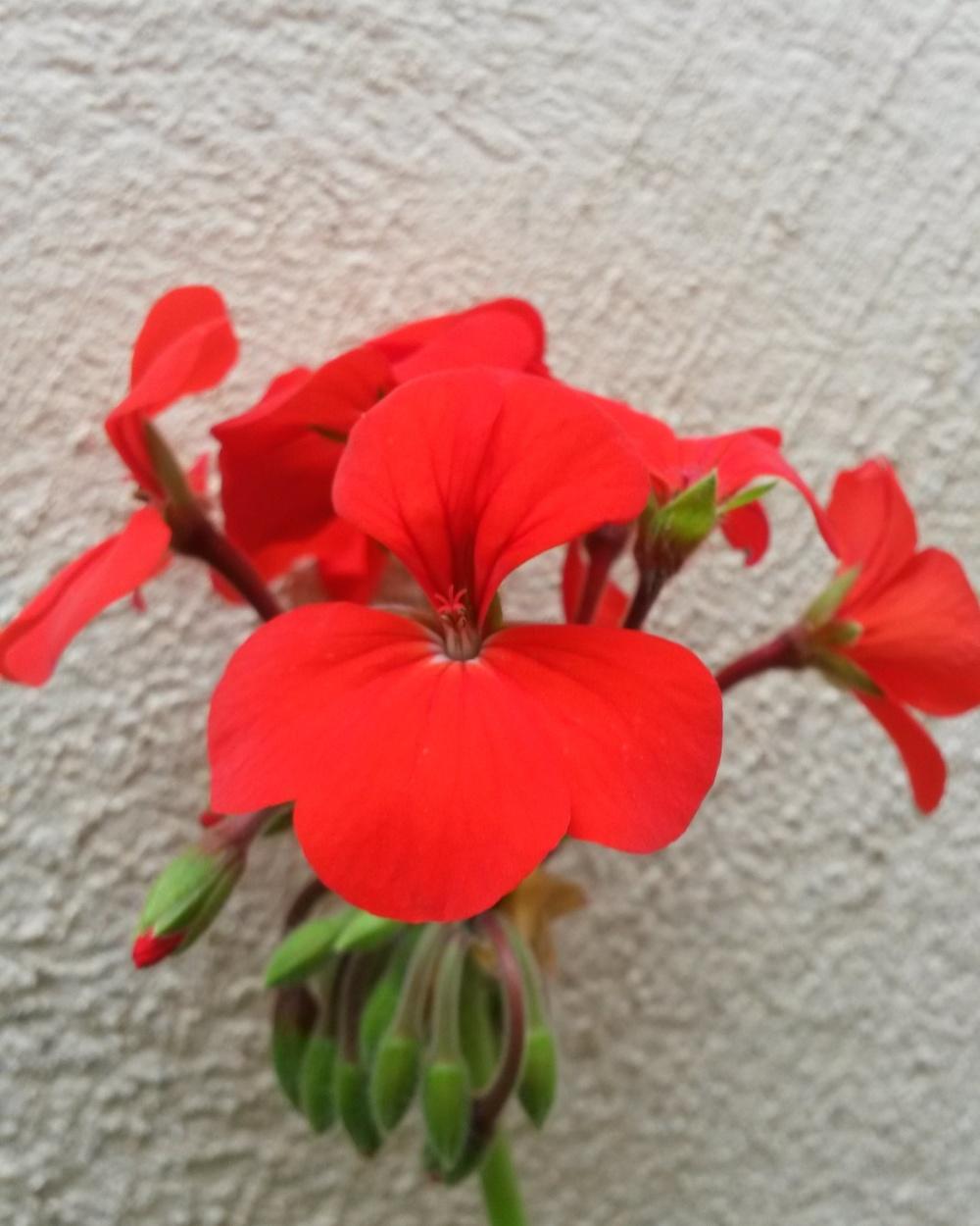 a lovely red flower