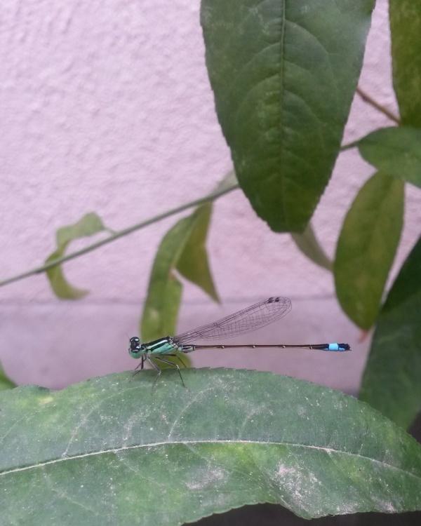 Damsel fly 2