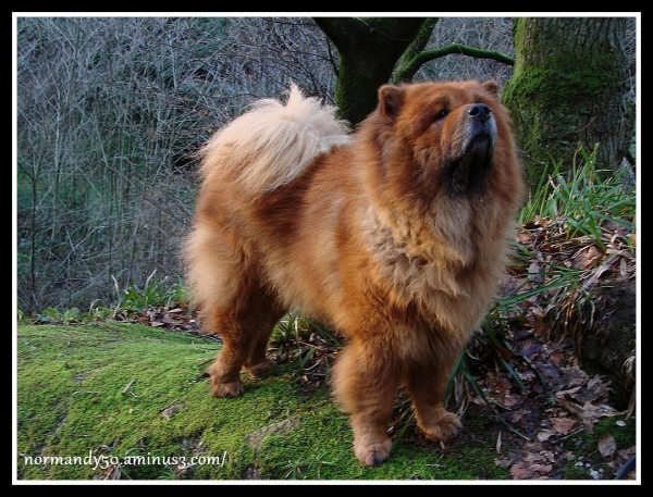 WHISKY , MON REGRETTE CHOW-CHOW