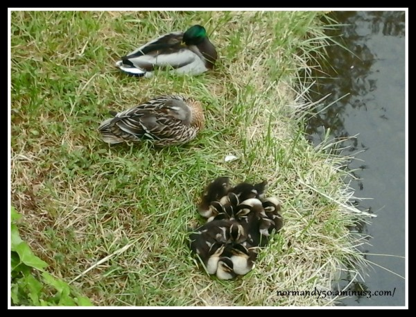 FAMILLE CANARD