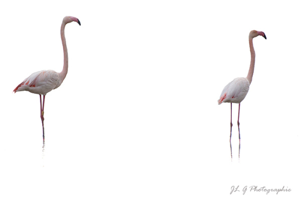 Flamants roses ...