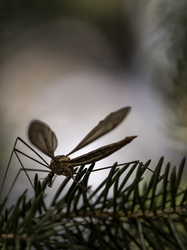 Drôle de moustique ...