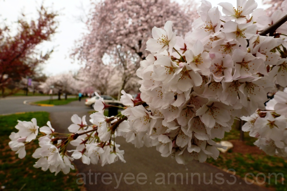 Cherry Blossoms (1)